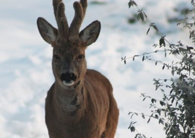 Boggioli deer-in-snow-6