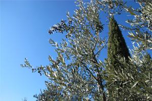 Boggioli olives2