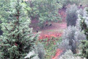 Boggioli-Boar-in-the-olive-fields