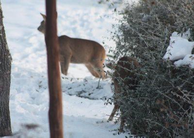 Boggioli-deer-in-snow-1