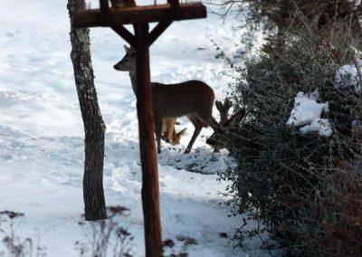 Boggioli-deer-in-snow-2