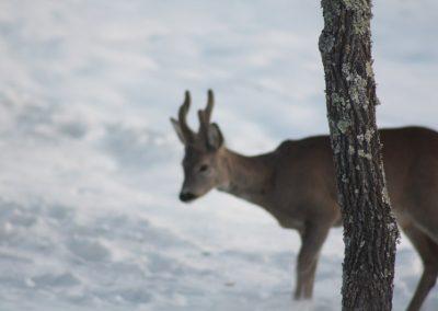 Boggioli-deer-in-snow-4