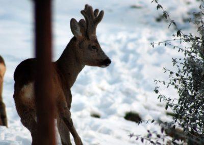 Boggioli-deer-in-snow-5