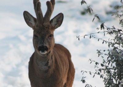 Boggioli-deer-in-snow-6