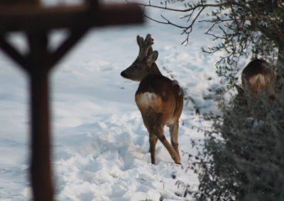 Boggioli-deer-in-snow-7