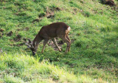 Boggioli-deer-in-the-field