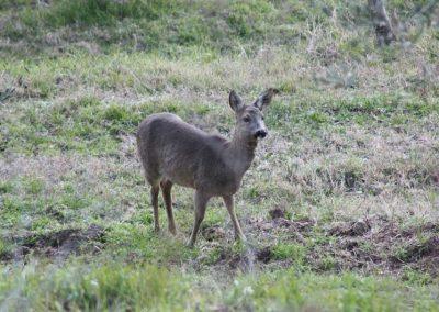 Boggioli-deer-in-the-field-3