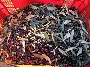 Boggioli the-harvest