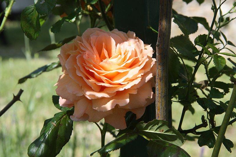 Rosa, varietà Belvedere